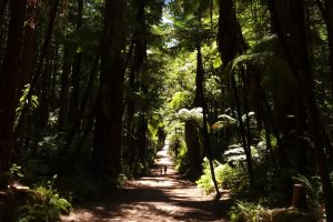 Rotorua Attractions Redwoods